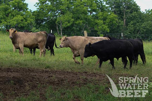 Spring Water Beef - Nicholasville, Kentucky
